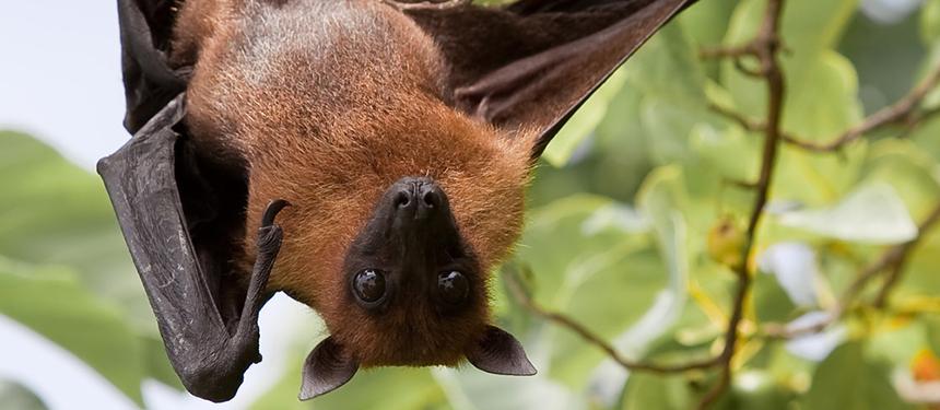 Nipah Virus Fruit Bat