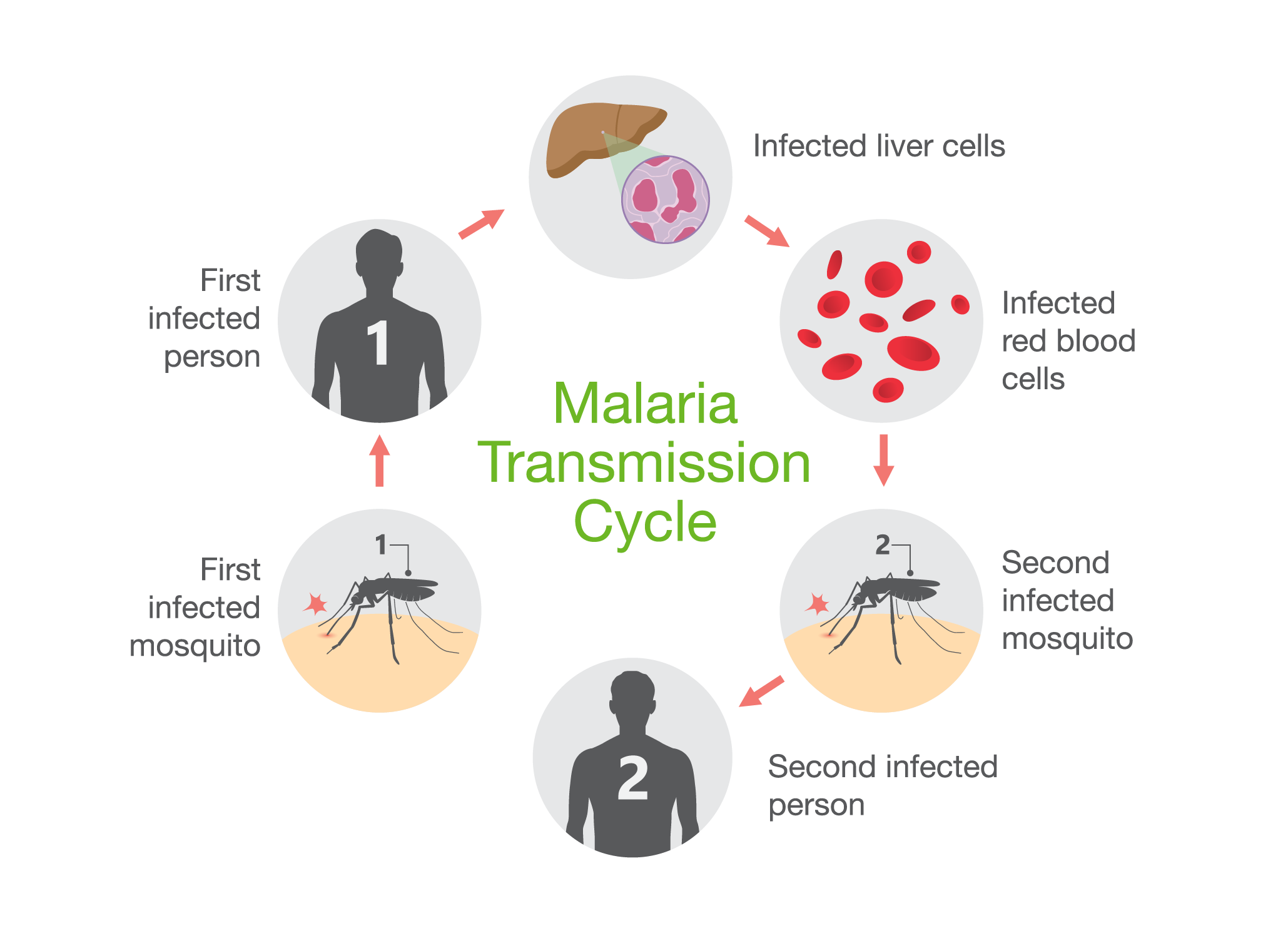 Malaria transmission cycle means that creating an effective malaria vaccine is incredibly complex
