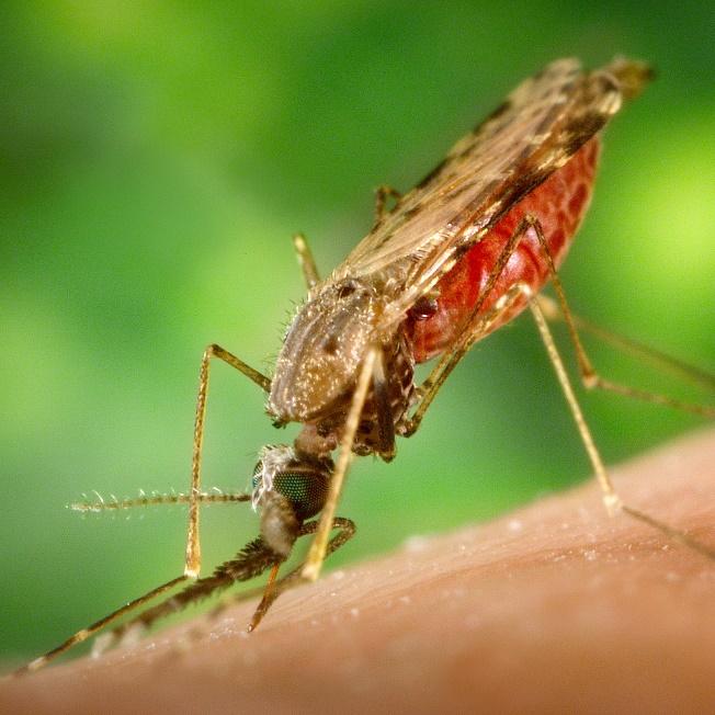 Malaria Mosquito Artemisinin
