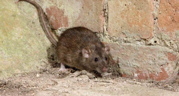 plague-rat